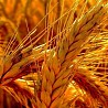 Seeds of winter wheat Bezostaya 100, Graf, Zhiva, Tanya, Timiryazevka-150, etc.