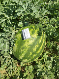 Watermelon Producer