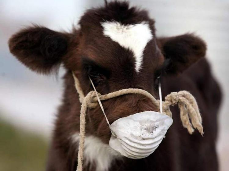 Симптомы и лечение кетоза у коров и КРС- обзор способов и правильное питание