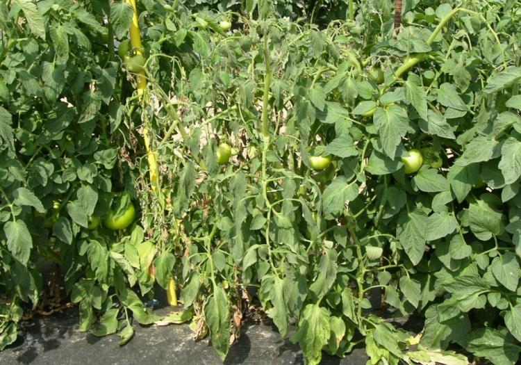 Признаки фузариоза у томатов и борьба с ним