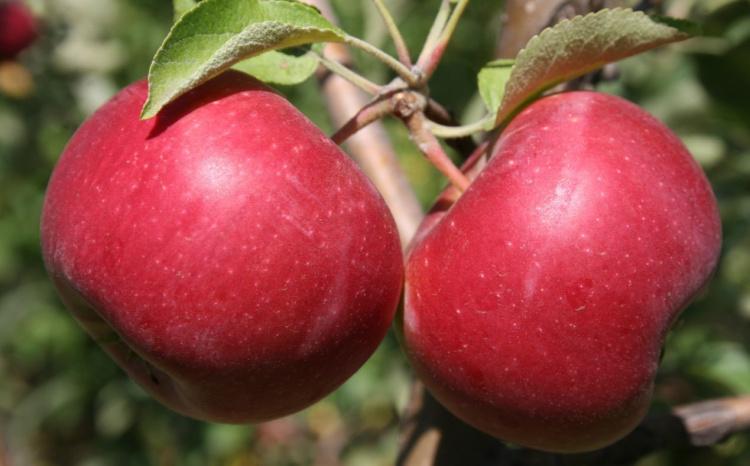 Зимний красный сорт яблок