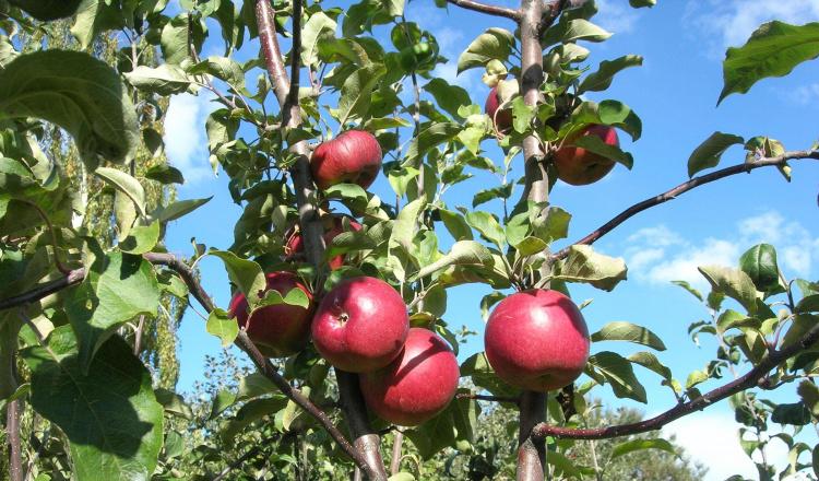 Лучший зимний сорт яблок