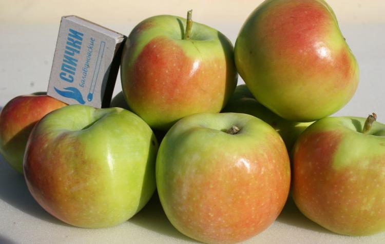 Зелёный зимний сорт яблок Синап Орловский