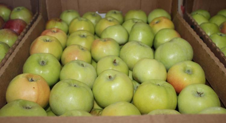 Зимний зелёный сорт яблок