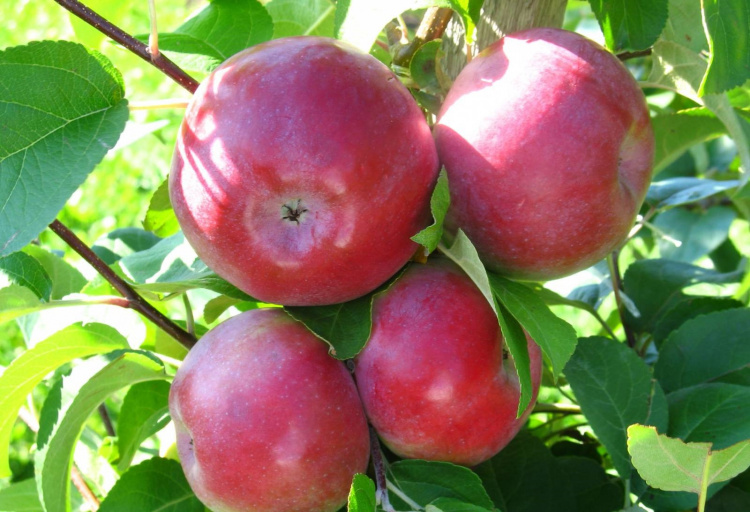 Популярные зимние яблоки