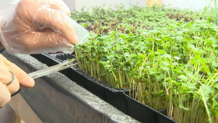 Тонкости выращивания микрозелени - как не допустить ошибок?