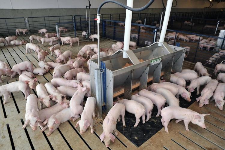 Здоровье свиней
