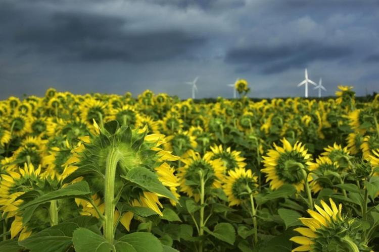 Как выращивать подсолнечник: технологии и советы
