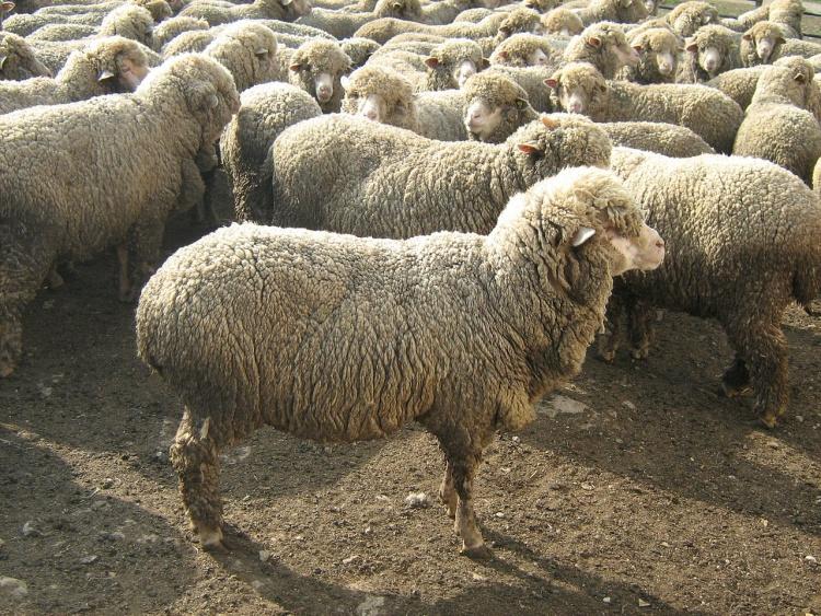 Овцы мясных пород сексен