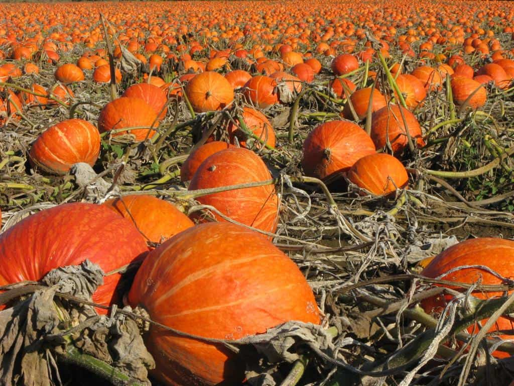 Сбор урожая тыквы: как правильно его построить и хранить